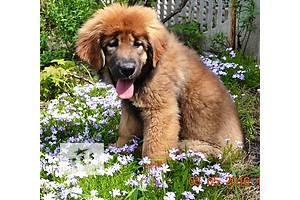 Собаки з хоробрим серцем та мудрістю старця Розумні, спокійні, сміливі, вміють любити. Дивляться в душу людини