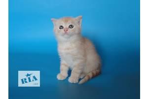 Продаж елітних кошенят