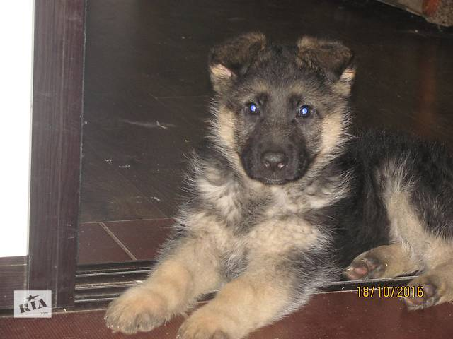купить бу Срочно продам щенка немецкой овчарки в Киеве