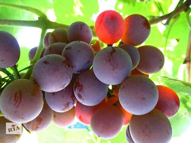 """купить бу Срочно! Продам виноград """"Лидия"""" на сок, вино. в Запорожье"""