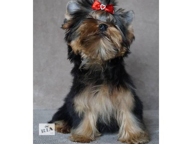 купить бу Стандартный  щенок йорка в Киеве