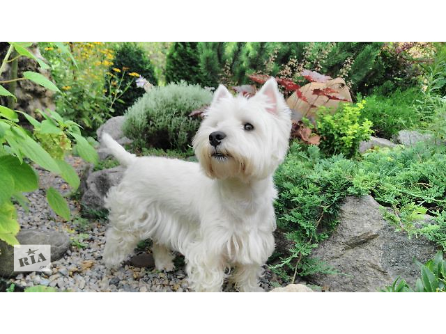 бу Stud dog West highland white Terrier  в Украине