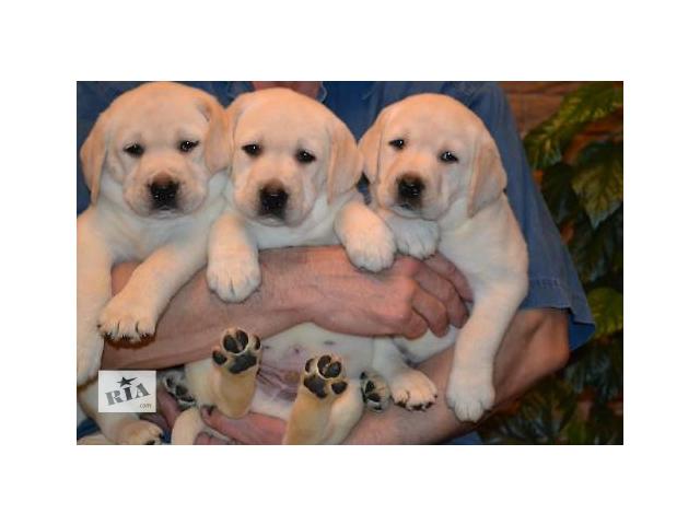 Продам щенков немецкой овчарки, полтава