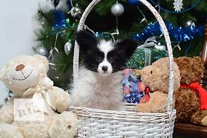 Супер-щенок папийона (папильон, собака-бабочка, континентальный той спаниель)