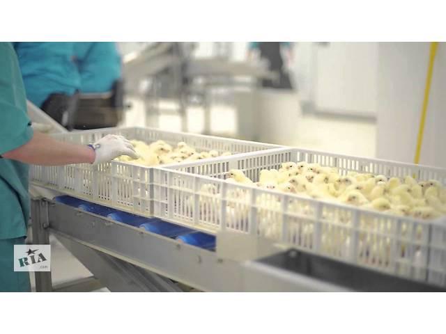 купить бу Суточные цыплята бройлеры, мясо-яичные, яичные; утята, гусята, индюшата от производителя (Инкубатор) в Новых Санжарах