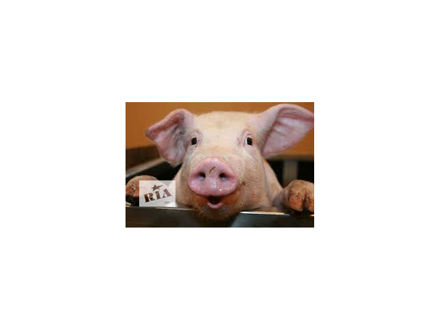 бу свиня, мясо свинне в Подгайцах (Тернопольской обл.)