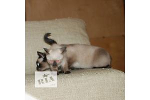 бу Сиамская кошка  в Украине