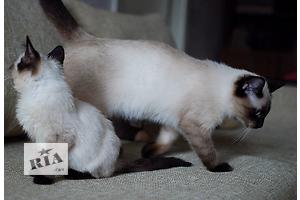 Сиамская кошка - мальчик шоколад поинт (Chocolate point siamese - SIA b 32).