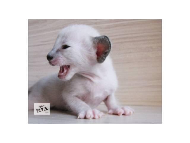Сиамская кошка Девочка- объявление о продаже  в Барановке