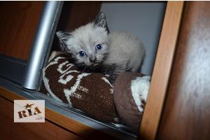сиамские котята 1,5 месяца.