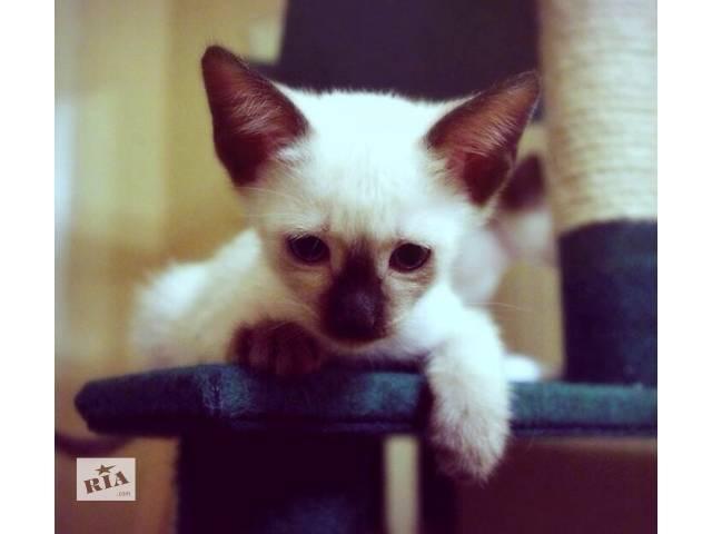 продам Сиамские котята. Мальчик и девочка.  бу в Киеве