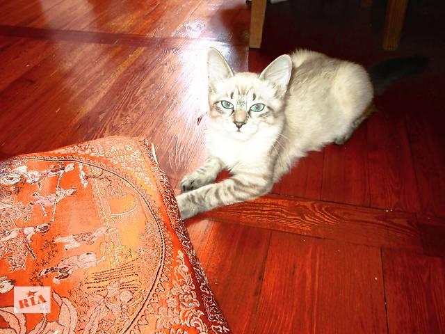 бу сиамские котята на полтора месяца кушают и ходят в лоток в Бердянске