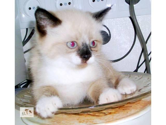 продам Сиамские котята(разновидность сноу-шу) бу в Запорожье