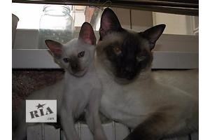 продам Сиамская кошка бу