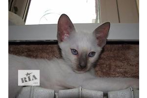 купить бу Сиамская кошка Херсон