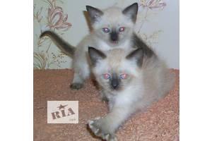 сиамские (тайские )котята-девочки