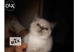сиамские.котята
