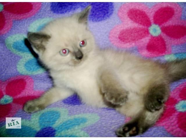 продам сиамские котята бу в Запорожье