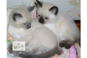 сиамские котятки -девченки