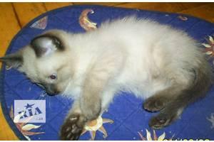 сиамские(тайские) котята