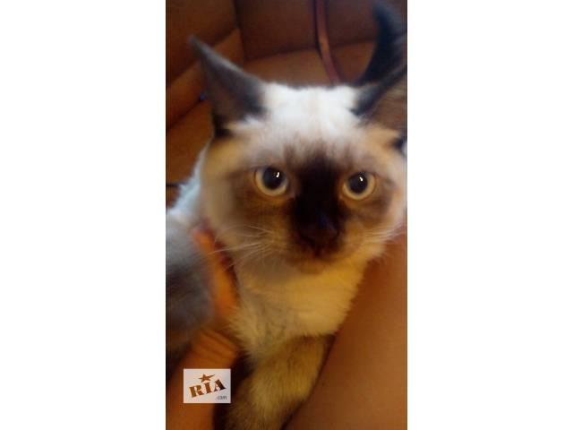 продам Сиамский котенок Бусинка бу в Днепре (Днепропетровск)