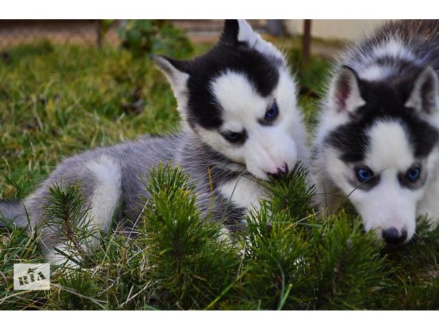 бу Сибирский хаски - собака для всей семьи в Херсоне