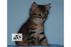 Сибирский котенок из питомника Chersi