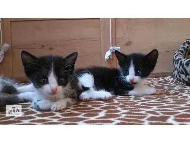 купить бу Симпатичные котята из приличной семьи  в Киеве