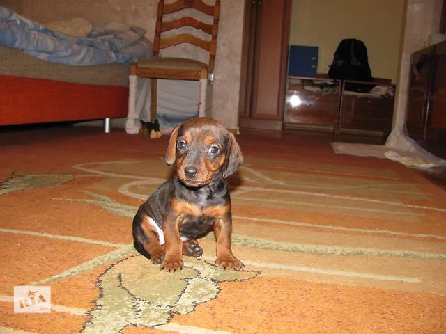 купить бу Такса щенок в Львове