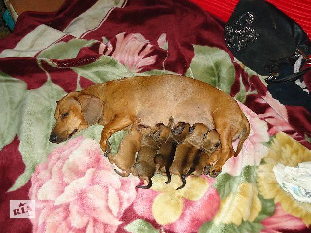 Продажа щенков кроличьей таксы