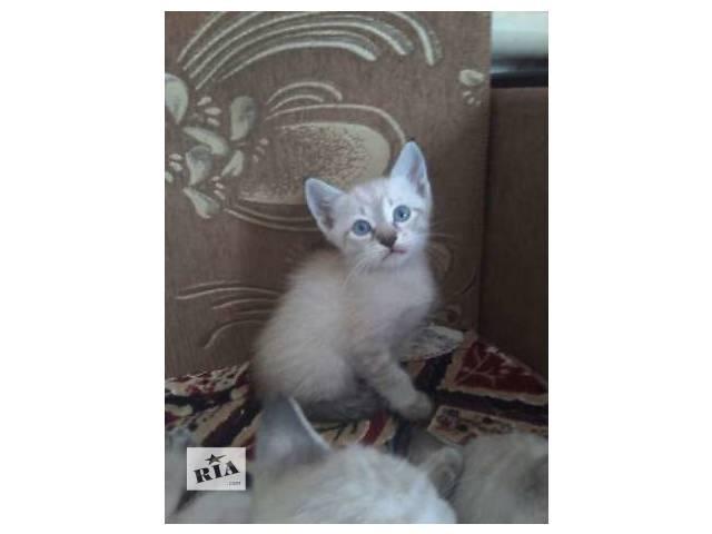 купить бу Тайские (старо-сиамские) котята. Тебики в Харькове