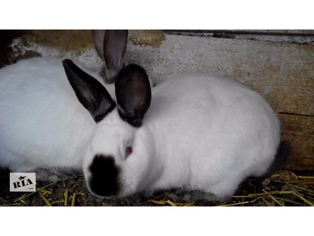 бу Тернопільські Кролики породи Каліфорнієць та Полтавське срібло в Тернополе