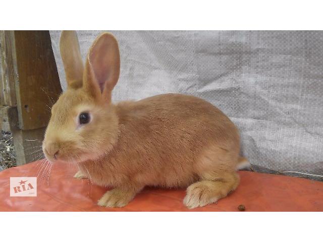 купить бу Тернопольские Кролики породы Бургундець в Тернополе