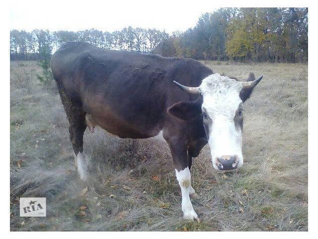 бу Тільна корова звати Лютана (4 років) в Тульчине
