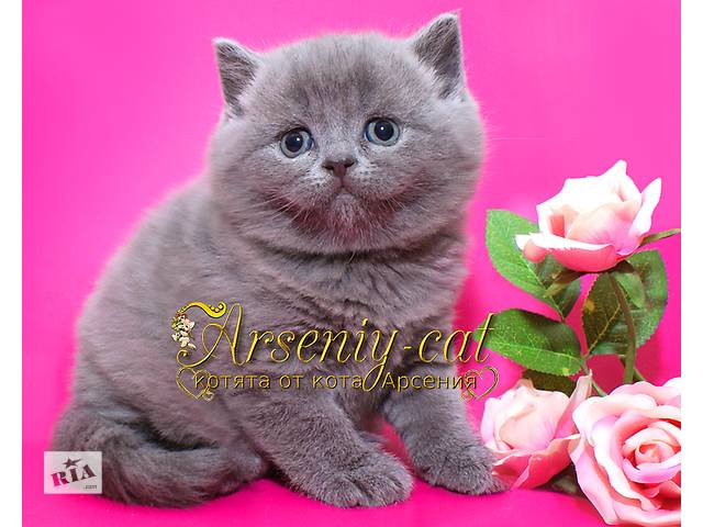 купить бу Толстощёкий шотландский котик по имени Мишутка в Киеве