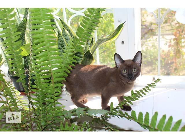 купить бу Тонкинезы, тонкинские котята в Запорожье