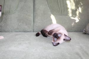 Тонкинские кошки
