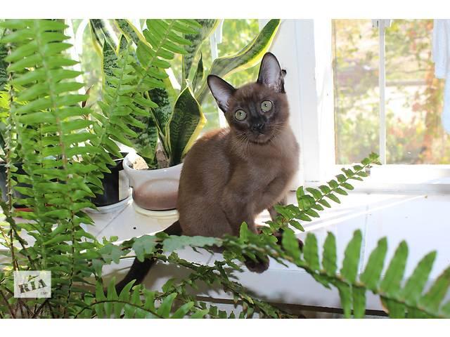 Тонкинские котята компаньоны  для всей семьи!- объявление о продаже  в Запорожье
