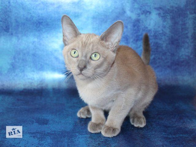 тонкинские котята, тонкинезы- объявление о продаже  в Запорожье