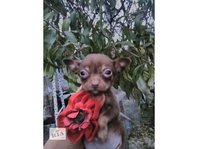 продам Тоичка миничка крошечная шоколадная малышка.  бу в Днепре (Днепропетровске)