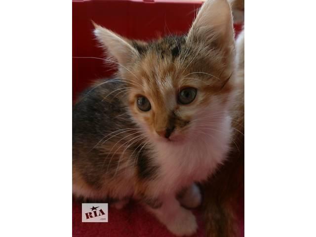 бу Трехцветный котёнок  ищет семью.  в Одессе