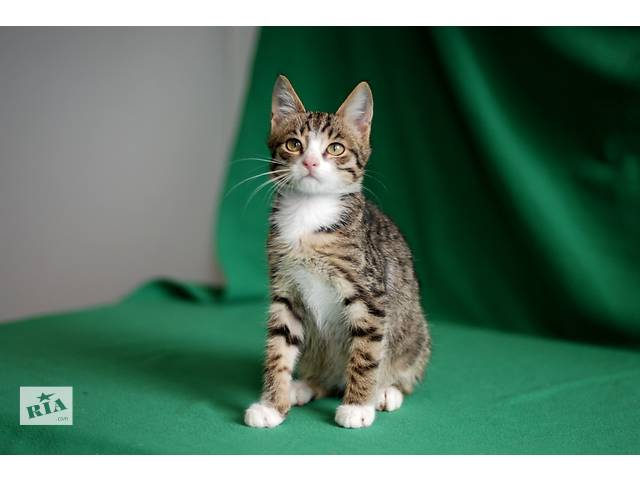 продам Тришка, четырехмесячный котенок окраса табби. бу в Киеве