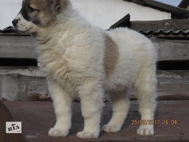 Цуценята середньоазіатської вівчарки- объявление о продаже  в Ровно