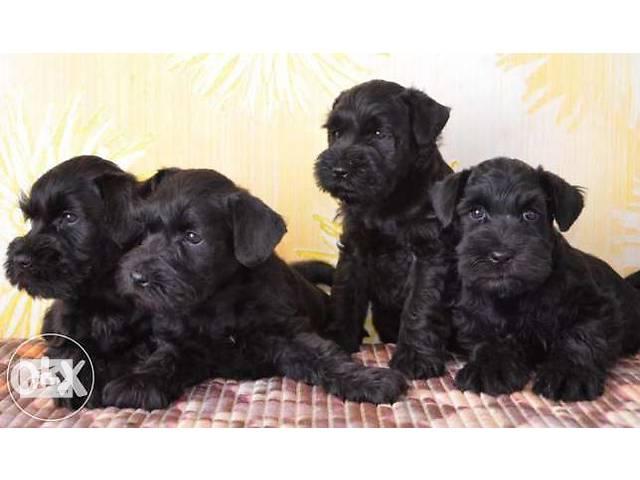 продам Цвергшнауцер черного окраса щенки бу в Киеве