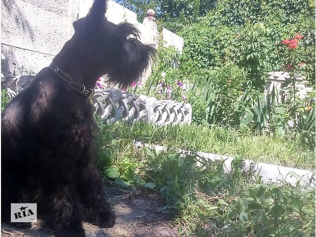 купить бу Цвергшнауцер, подрощенный щенок в Глухове