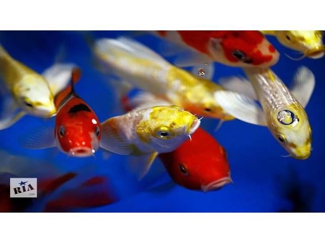 купить бу koi breeder,цветной карп цена,опт,ферма,питомник,водные растения,корм для рыб кои,интернет зоомагазин,разводчики кои в Киеве