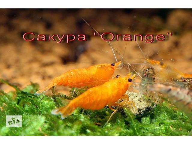 Цветные Креветки, Цветные улитки Ампулярия, зеленые шарики- объявление о продаже  в Харькове