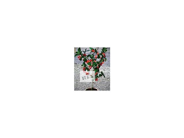 Цифомандра, томарилло, помідорне дерево.- объявление о продаже  в Полтаве