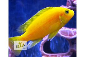 Цихлида Лимон (Labidochromis caeruleus) без черной окантовки