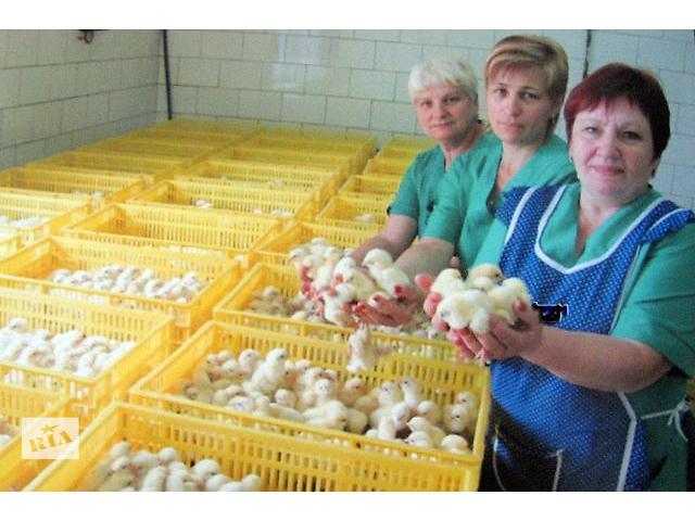 Цыплята бройлеры опт/розн. Инкубатор, высшее качество.Днепропетровска область- объявление о продаже  в Днепре (Днепропетровск)